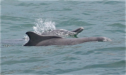 Two Atlantic humpback dolphins; the hump can be seen on the front dolphin