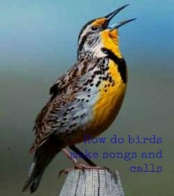 Western Meadowlark from US FWS