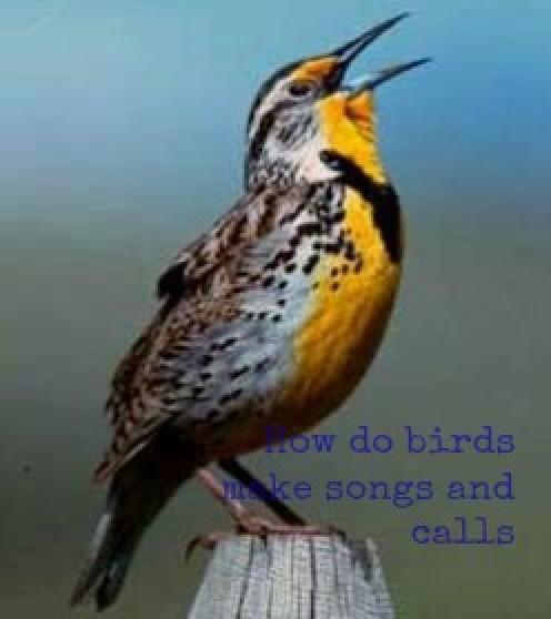 Western Meadowlark from US FWS