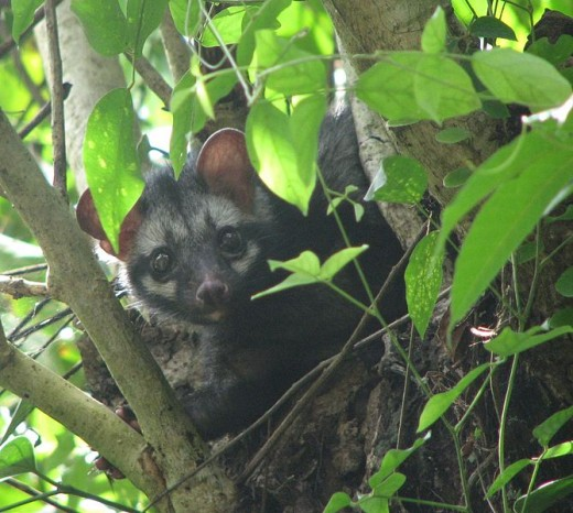 Asian Palm Civet:  Photo by Praveenp