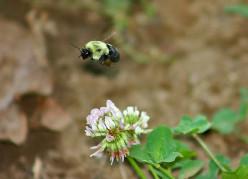 THE HUMBLE BUMBLE BEE By Robert Hewett Sr