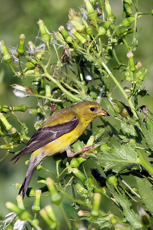 Female American Goldfinch Munching away on some tasty flowers at Huntley Meadows Park in Alexandria, VA.