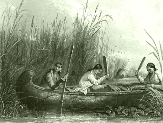 Harvesting wild rice in the 1800s.