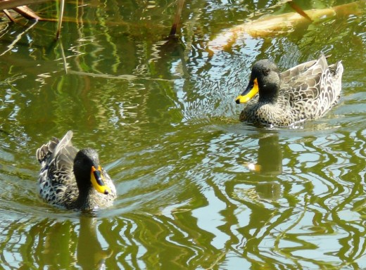 Very common Yellow-billed Ducks