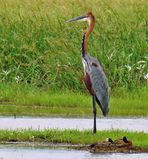 Goliath Heron and White-faced Ducks Hamburg,Eastern Cape