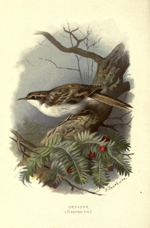 'Familiar wild birds'- Swaysland { 1883}