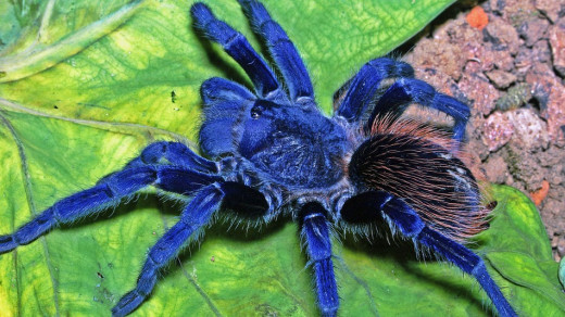 Pterinopelma sazimai. Source: http://mashable.com/2012/12/05/new-species-2012/
