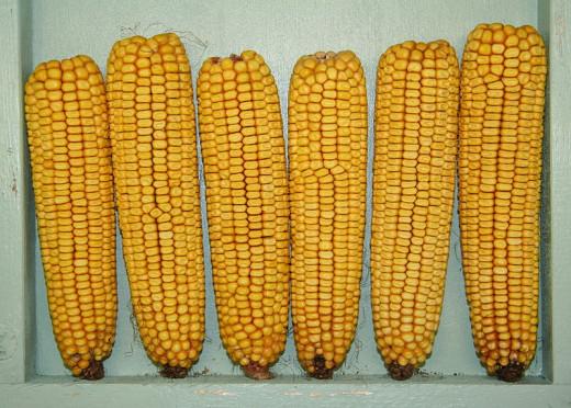 Mature maize ears.