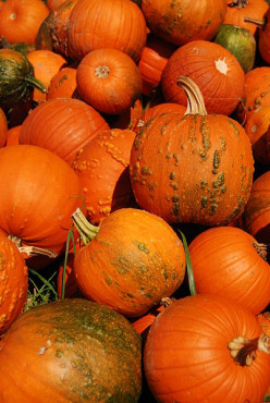 A Guide to Growing Pumpkins