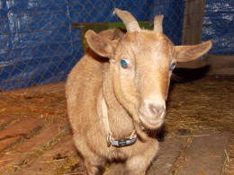 Raising Goats on a Hobby Farm help to supply milk, meat and land maintenance.