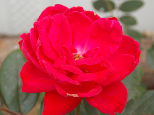 The Knock-Out rose if a big, vivid colored bloom at full maturity.