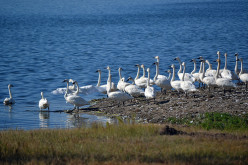 Characteristics of different species of swans; Mute, Trumpeter, Whooper, Bewick's, Whistling, Black, Black-necked and Co