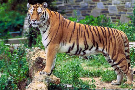 Panther Tiger