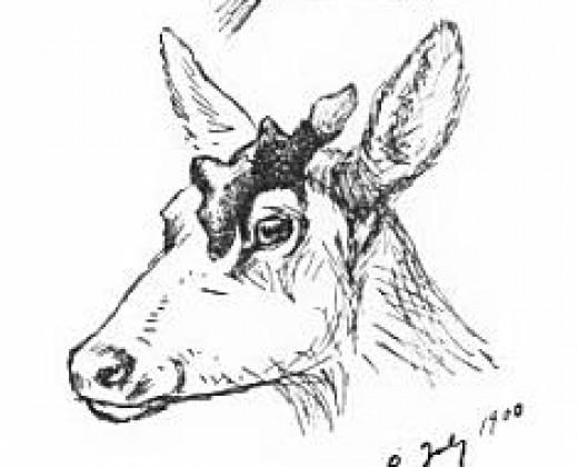 Female elk with horn (1900)