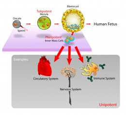 Pluripotent stem cells naturally occur in early embryos.