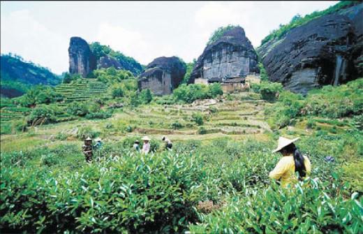 A tea plantation on the Wuyi Mountains.