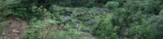 Two tea pickers walk down from the hills after picking bushes in wild gardens at Bohea Farm