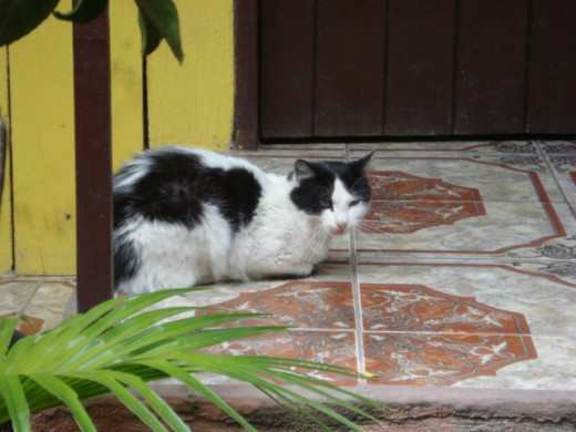A sweet kitty in San Pedro La Laguna, Guatemala.    She is well adjusted because she practically owns the hostel herself and gets loved by all the guests.  Meow!