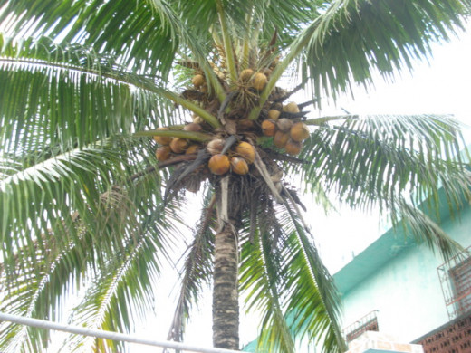 Coconut trees abound on both the west and east coast of Guatemala.  This was taken in Livingston, Guatemala in August 2013, where coconuts were free for the asking!