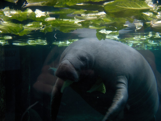 Highlight of the Emancipation Day celebration for me was feeding the manatees in the park!