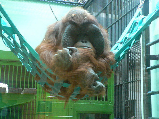 The mature male Bornean orang-utan has a squatter face, coarse hair, and more developed cheek pads or 'fatty flanges' than its Sumatran counterpart.