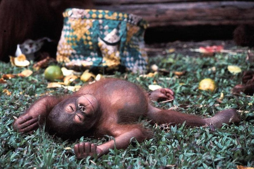 Apart from ourselves, no other species of animal cares for its offspring as long as the orang-utans. And for them it is solely maternal attentiveness- not that of the males or other family members.