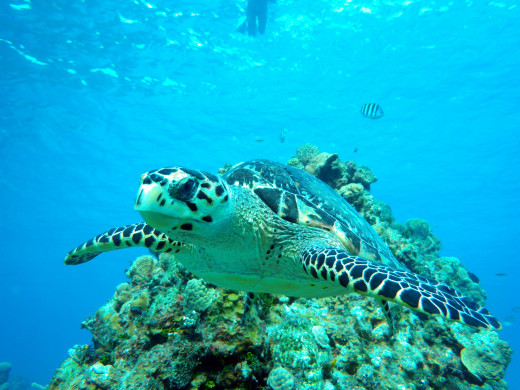 Beautiful sea turtle swimming off the reefs of Cozumel, Mexico.