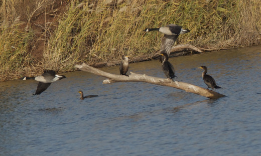 Double-crested Cormorants with Canada Geese in Flight