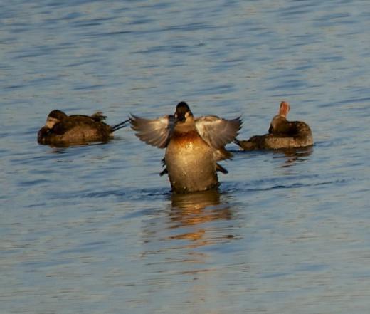 Ruddy Ducks