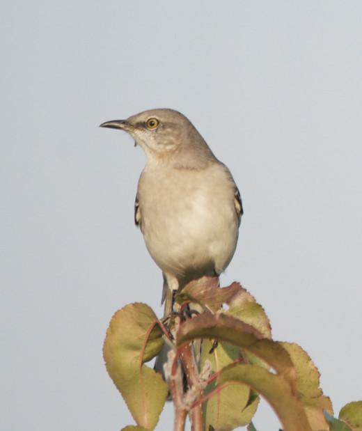 Northern Mockingbird, Portrait