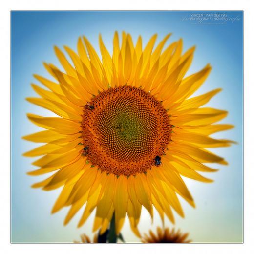 'Sun' by Flower