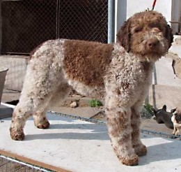 A Lagotto Romagnolo, a breed of dog often trained to be a truffle dog