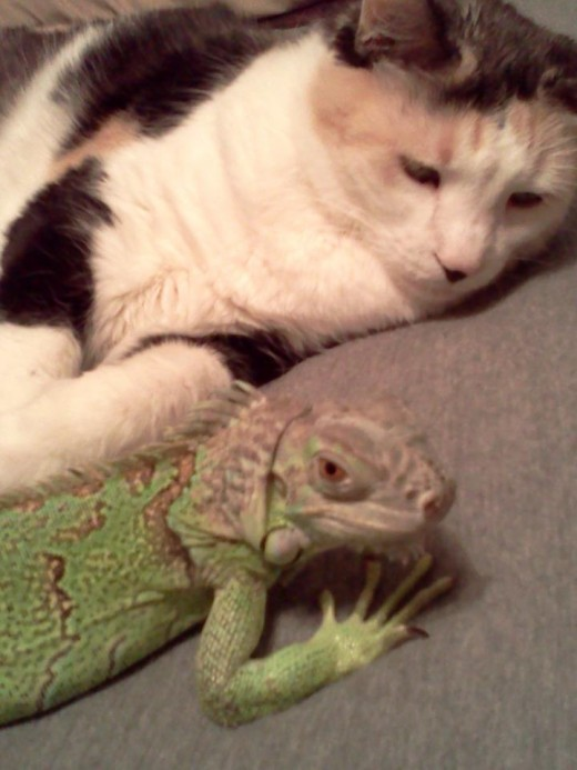 Buffy and Anastasia are buds.  This is not normal for most iguanas and cats but it was love at first sight.