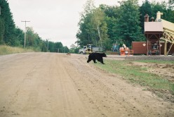 Killarny Provincial Park: Bears and Breakfast