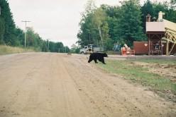Killarny Provincial Park: Bears and Breakfast