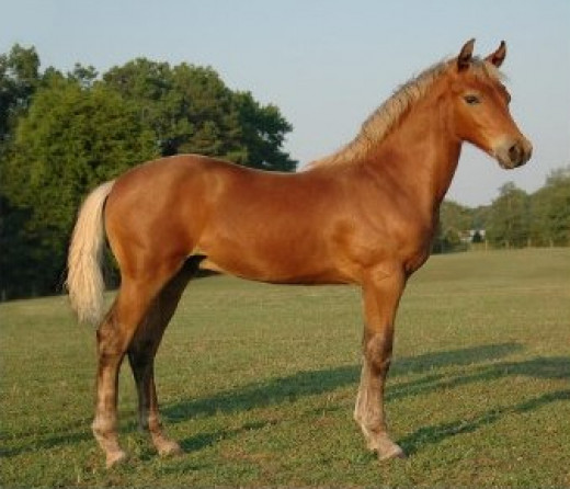 A young Morgan showing typical breed type A Brown Silver Morgan horse. A genetically brown horse that shows the silver phenotype with the mane and tail diluted from black to white and the lower legs diluted from black to dark grayish.