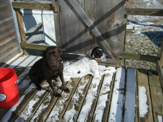 Tazzy (chocolate lab) and Licorice (English pointer)