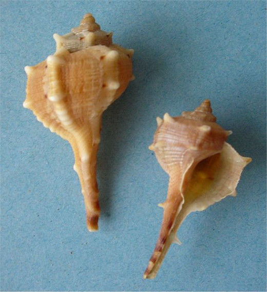Murex Sea Shells