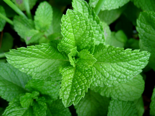 Mint is one of many plants that act as a great deterring aid for ant problems
