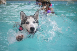 Swimming provides gentle resistance to help dogs improve their range of motion and alleviate arthritis pain