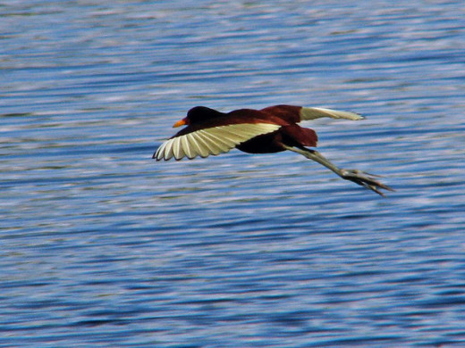 Wattled Jacana in flight