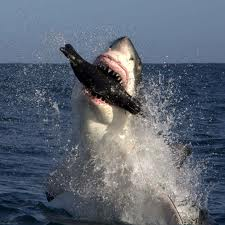 Great White with doomed seal