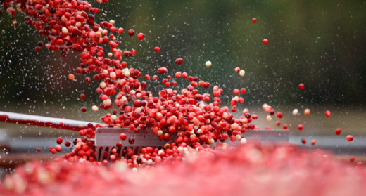 Cranberries reach their peak of color and flavor and are ready for harvesting in September.