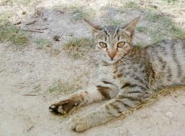 Castration is a process of neutering a male by removing the testicles. It is done when the male kitten is about six or seven months old.