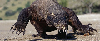 A big komodo dragon
