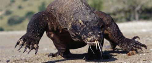 A big komodo dragon
