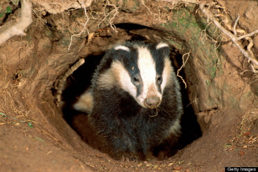 Controversial culling of badgers as part of efforts to tackle TB in cattle has gone ahead, in the face of protests from animal welfare campaigners.