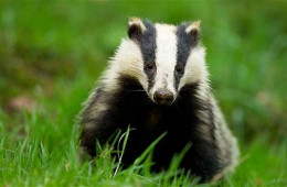 Is The UK Badger Cull Necessary?