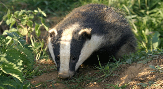 Where is the absolute proof that Badgers carry the TB infection