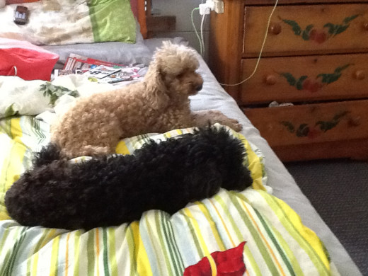 The poodles, Jackson and Ginger.